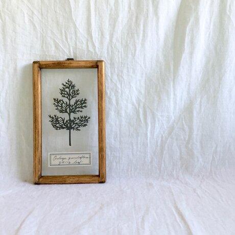 【植物標本シリーズ】オルラヤの幼葉の切り絵フレームの画像