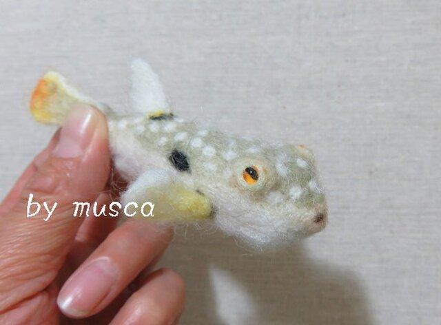 羊毛フグ(クサフグ)の画像1枚目