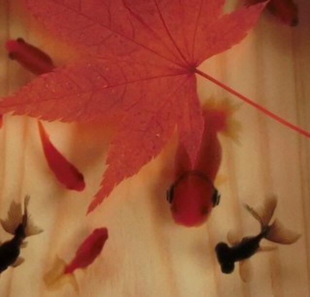 アクリル 桧 アート  「楽/もみじ」こだわりの純日本製 ★ラッピング無料★ 3D金魚 漆の画像1枚目
