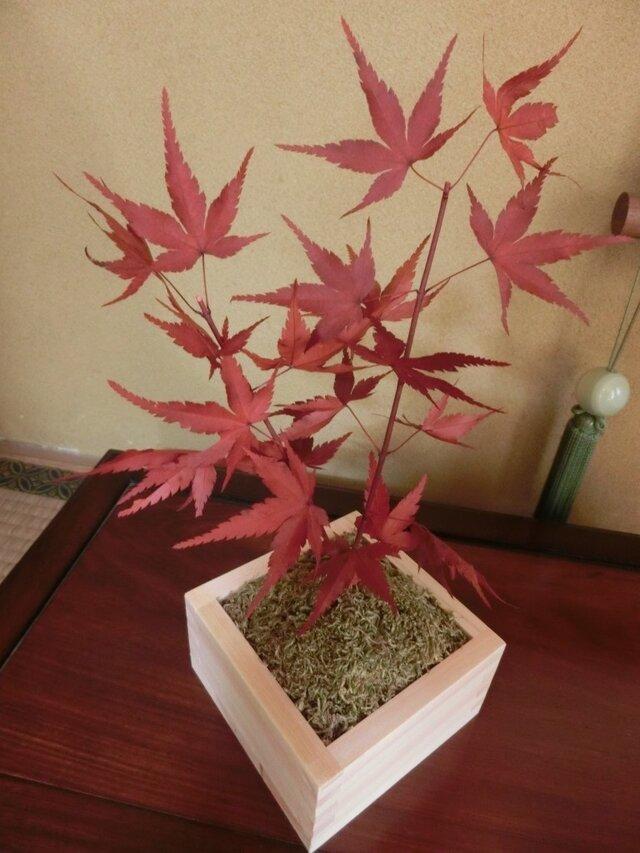 もみじの盆栽 「紅葉」プリザーブド加工済 秋の画像1枚目