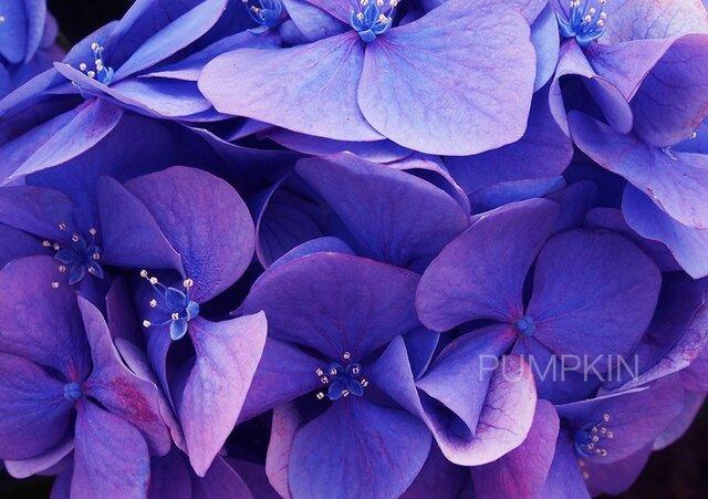紫炎   PH-A4-040    紫 赤紫 夕暮れ 思慕の花 の画像1枚目