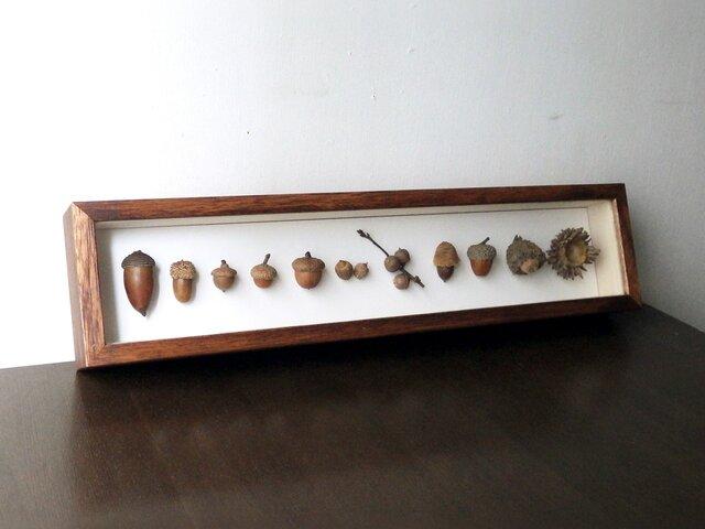 オーダードングリの標本函の画像1枚目