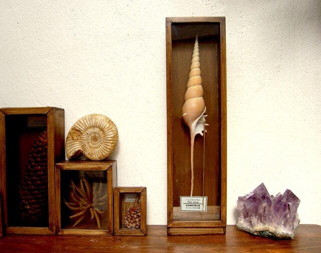 ハシナガソデガイの標本。の画像1枚目
