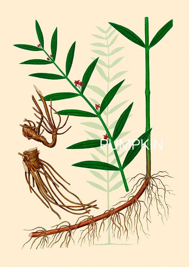 ハーブダイアリー B A4 025 ボタニカルアー イラスト 白前 植物画 漢方