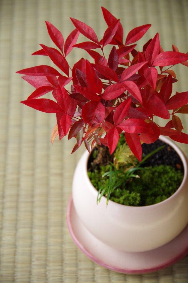 ナンテンの盆栽 【陶芸家作盆栽鉢】受皿付の画像1枚目