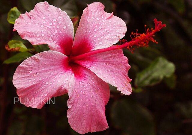 ハイビスカス-2  PH-A4-0159 沖縄 慶良間諸島 座間味島 村の花 ハイビスカスの画像1枚目