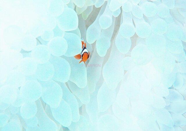 紅の華 PH-A4-0160 沖縄 石垣島 ハマクマノミ クマノミ 水中 魚 サカナの画像1枚目