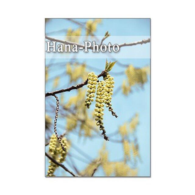 1298) キブシ、ヒュウガミズキ、桜、ウワミズ桜、コブシ        ポストカード5枚セットの画像1枚目