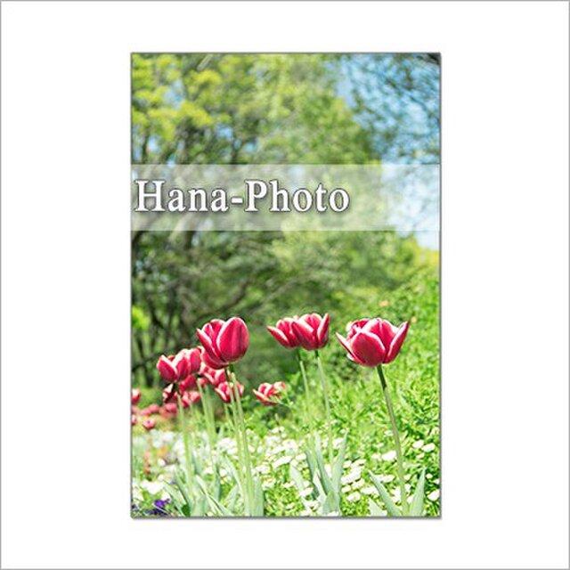 1311) チューリップ    ポストカード5枚組の画像1枚目