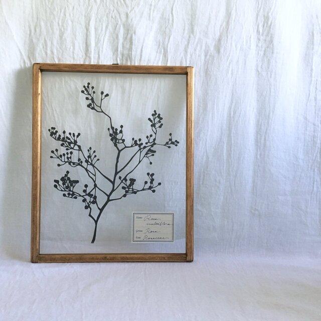 【植物標本シリーズ】ノイバラの切り絵フレーム_Aの画像1枚目