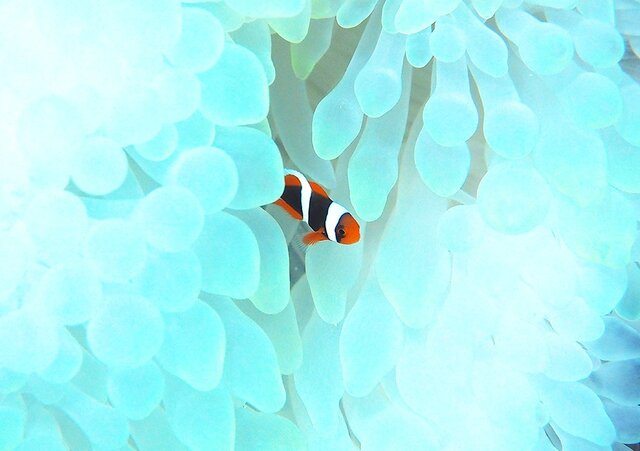 かくれんぼ PH-A4-0161 沖縄 石垣島 ハマクマノミ クマノミ 水中 魚 サカナの画像1枚目