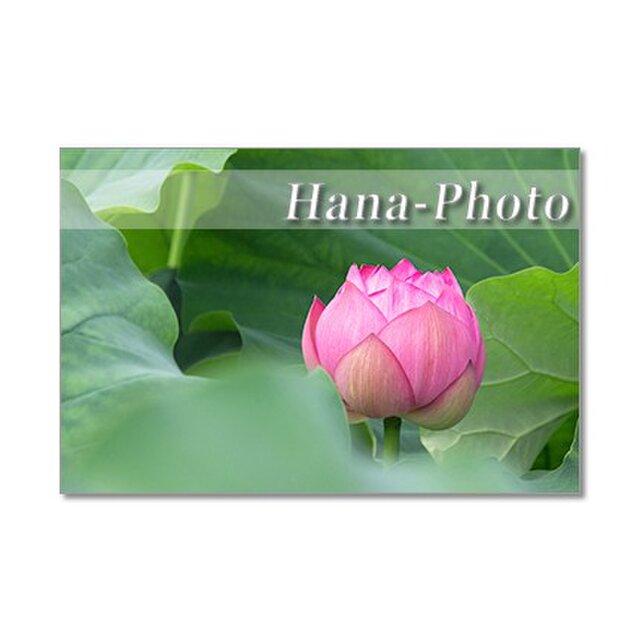 1336)息をのむ美しさ!ハスの花  ポストカード5枚組の画像1枚目