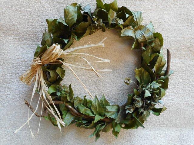 Green Wreath (マウンテンミント)の画像1枚目