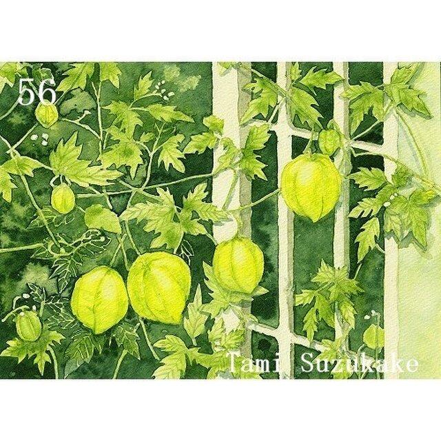ポストカード「56・フウセンカズラ(風船葛)」選べる2枚セットの画像1枚目