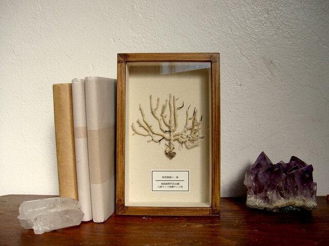 軟質珊瑚の1種標本その十一。の画像1枚目