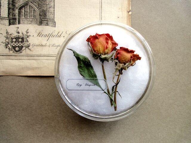 植物標本 ■シャーレ仕立て■バラ アレグリアの画像1枚目