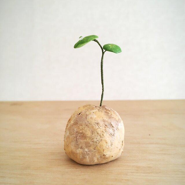 2782.bud 粘土の塊根植物の画像1枚目