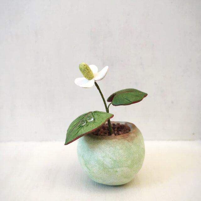 2808.bud 粘土の鉢植え ドクダミの画像1枚目
