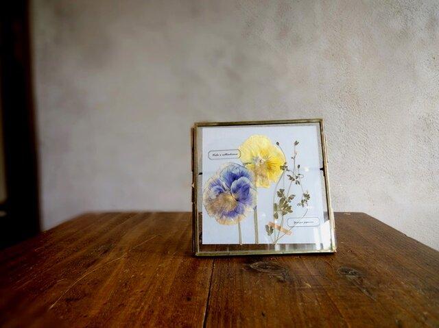 植物標本 ■押し花フレーム■パンジーとオニタラビコ Cの画像1枚目