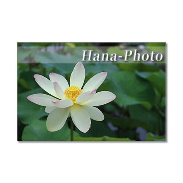 1362) 美しいハスの花  ポストカード5枚組の画像1枚目