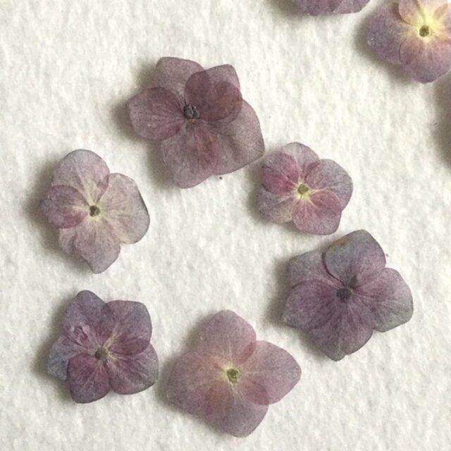 紫陽花 自然色ブパープル 10枚の画像1枚目