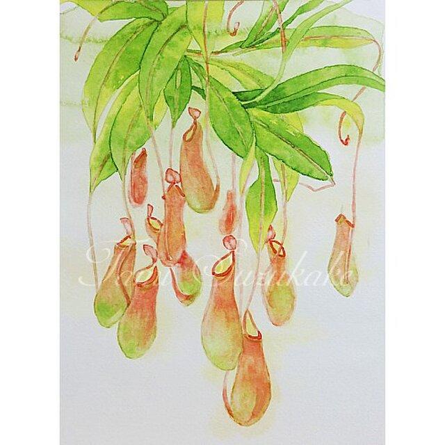 水彩・原画「植物画・ウツボカズラ」の画像1枚目
