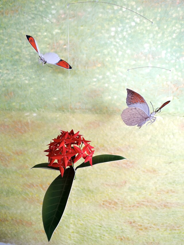 ツマベニチョウとサンタンカ(紅花)の画像1枚目