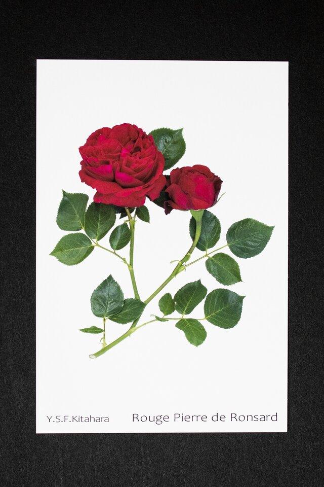 バラのポストカード ルージュ・ピエール・ド・ロンサールの画像1枚目