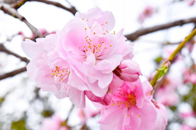 桜のポストカードセットの画像1枚目