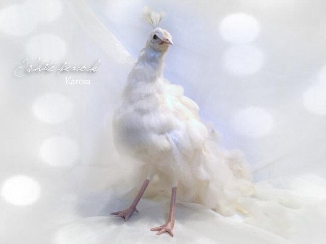 再販 白孔雀 縁起物 純白の画像1枚目