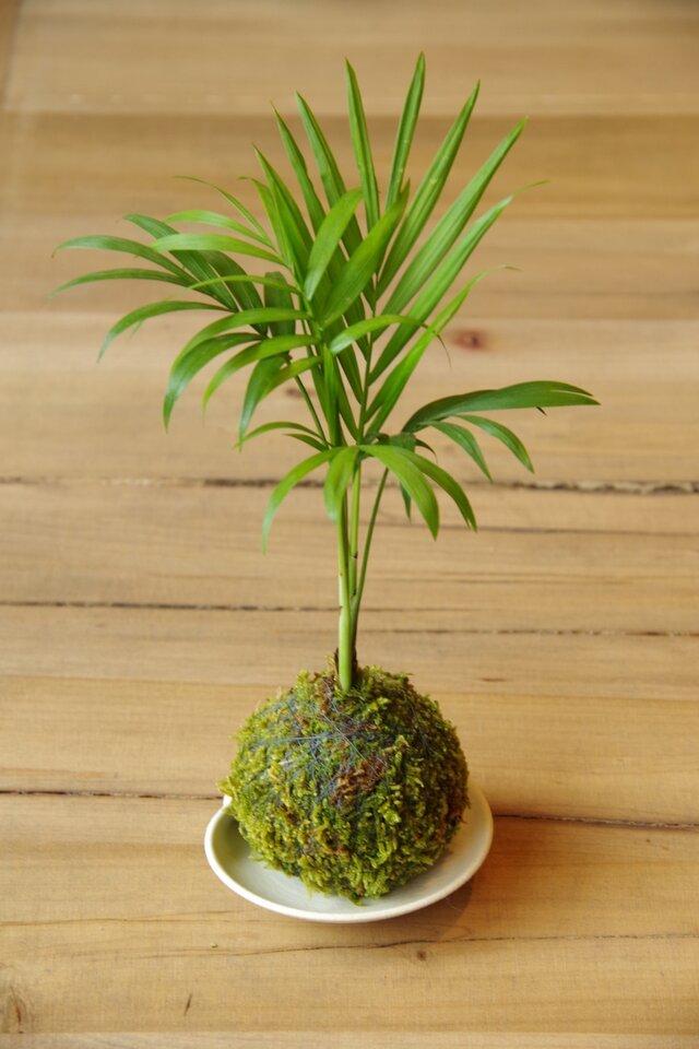 テーブルヤシの苔玉の画像1枚目