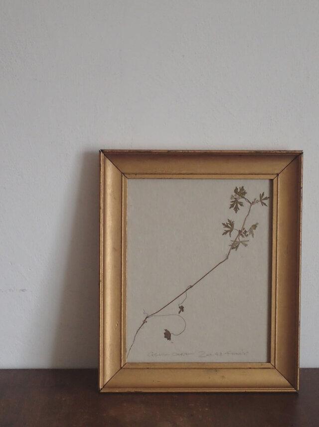 【身近な植物標本】アメリカフウロ の画像1枚目