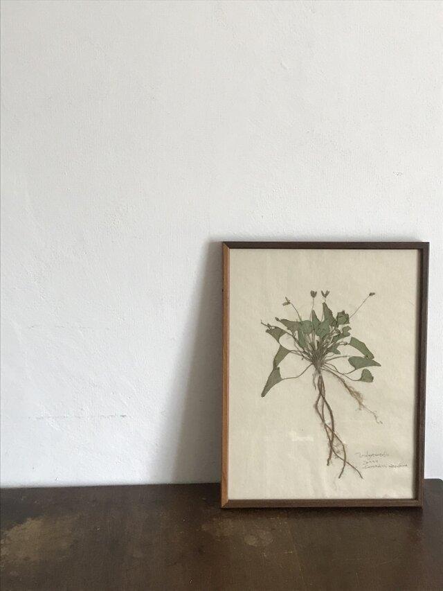 【身近な植物標本】ノジスミレ の画像1枚目