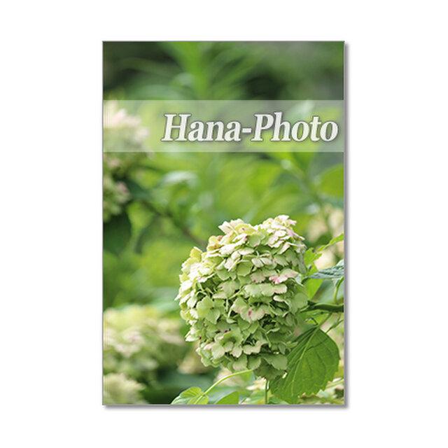 1410) 緑の美しいアジサイ    ポストカード5枚組の画像1枚目