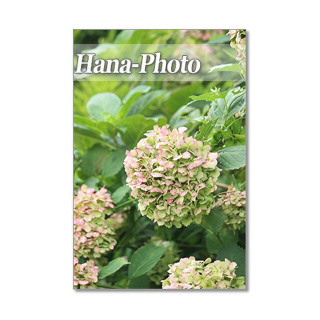 1415) 美しいアンティークカラーの紫陽花たち   ポストカード5枚組の画像1枚目