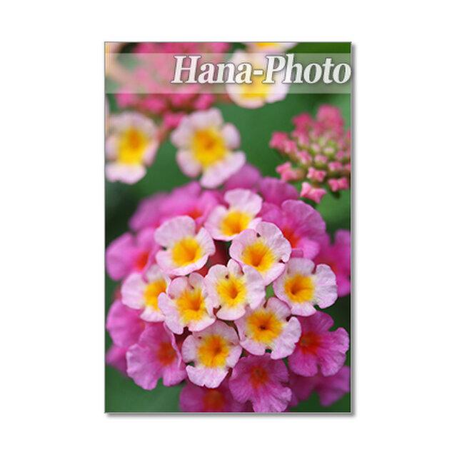 1416) 可愛らしい色のランタナ   ポストカード5枚組の画像1枚目
