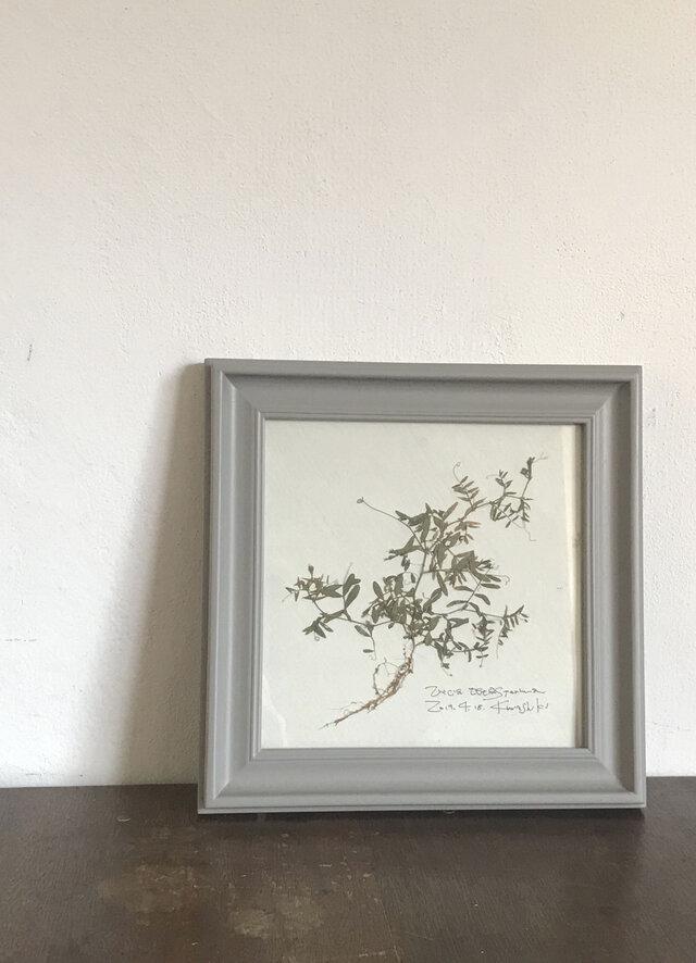 【身近な植物標本】カスマグサの画像1枚目