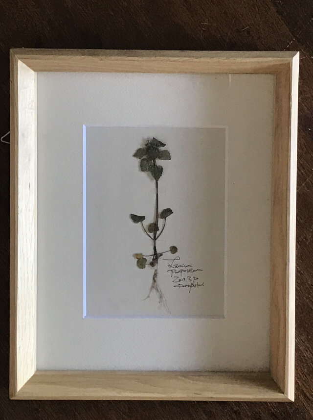 【身近な植物標本】ヒメオドリコソウの画像1枚目