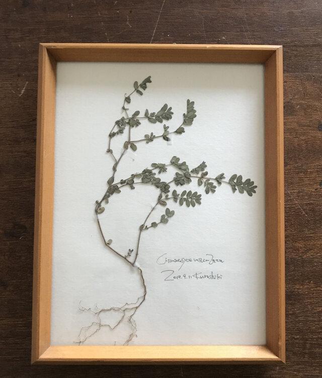 【身近な植物標本】コニシキソウ の画像1枚目