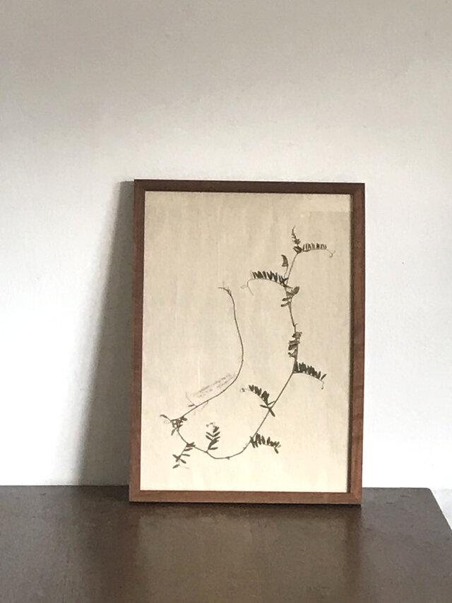 【身近な植物標本】ナヨクサフジの画像1枚目