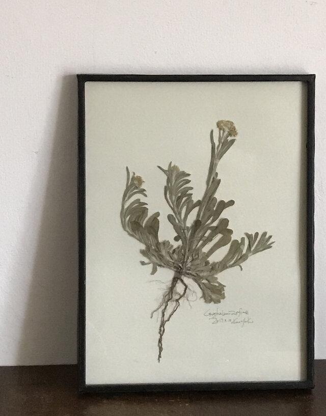 【身近な植物標本】ハハコグサの画像1枚目