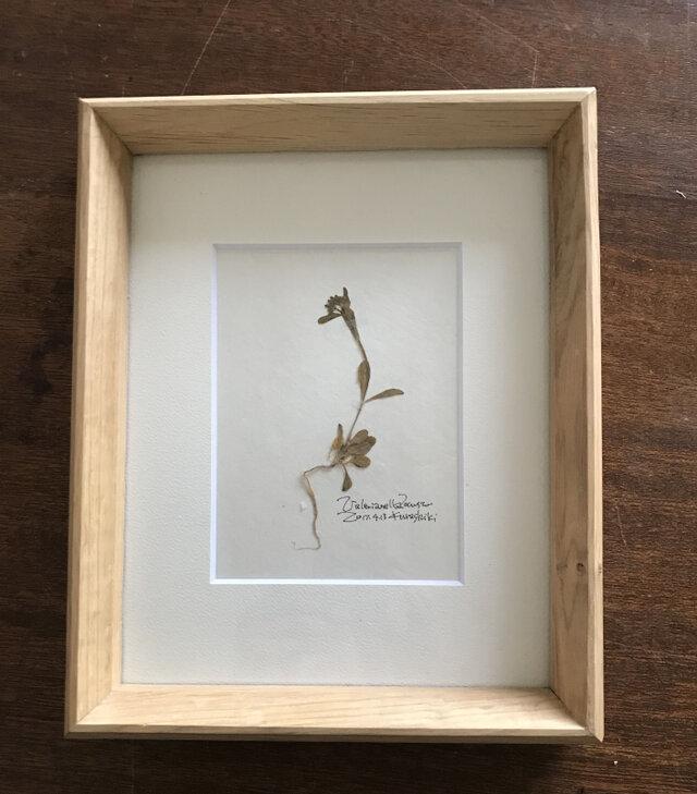 【身近な植物標本】ノヂシャ の画像1枚目