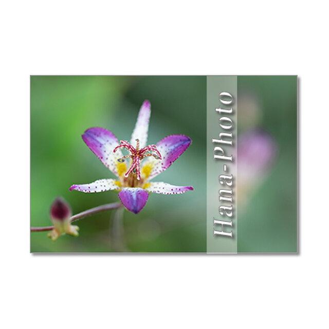 1432) 和のイメージの秋の花 ホトトギス    ポストカード5枚組の画像1枚目