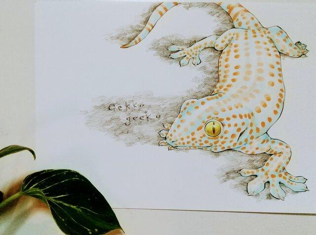 トッケイヤモリ -Gekko gecko-の画像1枚目