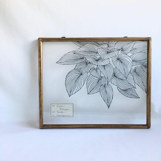 【植物標本シリーズ】ギボウシの切り絵フレームの画像1枚目