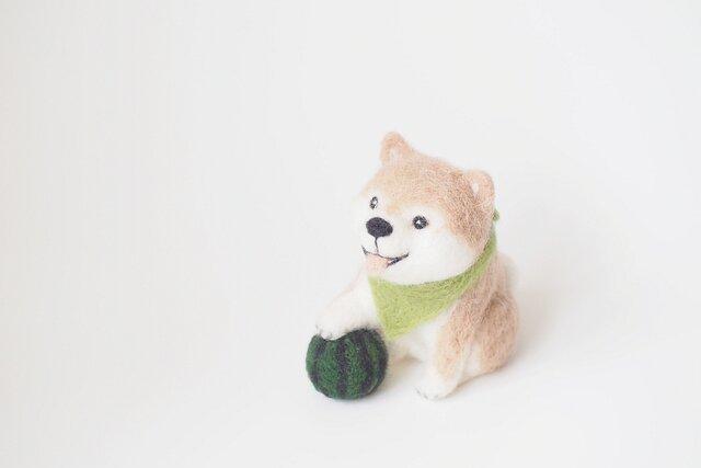 夏の柴犬の画像1枚目