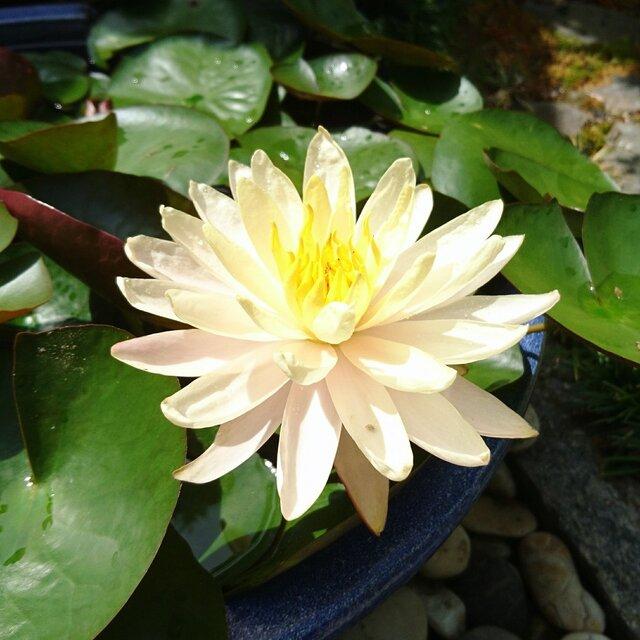 温帯スイレン・マンカラウボン オレンジ系ですがよく見るとピンクに黄色が入ったグラデーションのある美しい花の画像1枚目