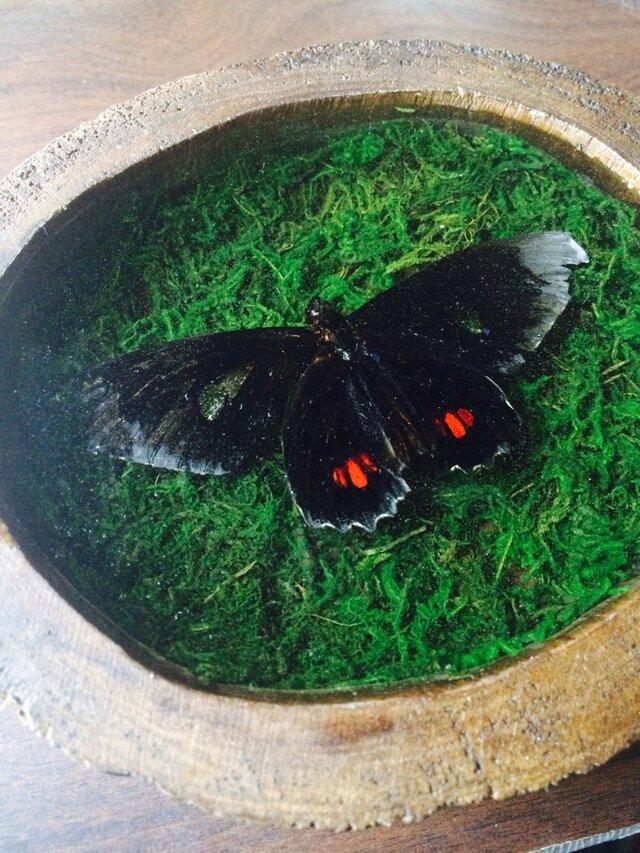 蝶の標本壁掛けの画像1枚目