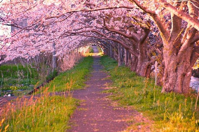 桜トンネルの画像1枚目