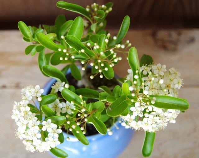 ピラカンサの盆栽の画像1枚目